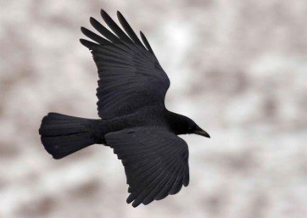 corbeauenvol